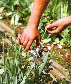 Samenkapseln bei Tulpen abschneiden