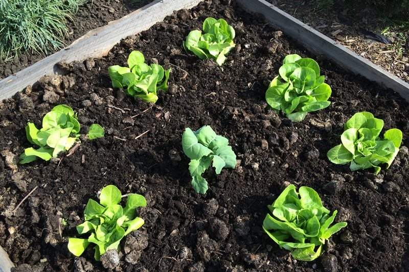 Junge Gemüsepflanzen im Beet, Foto: Sebastian Starke