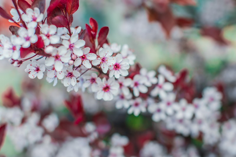 Strauch mit Blüten im Frühling