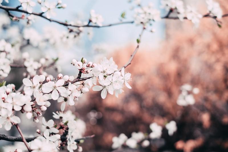 Apfelblüte im Frühjahr