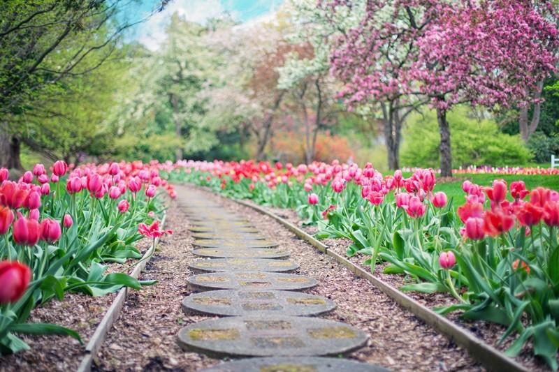 Blühende Tulpen am Wegrand