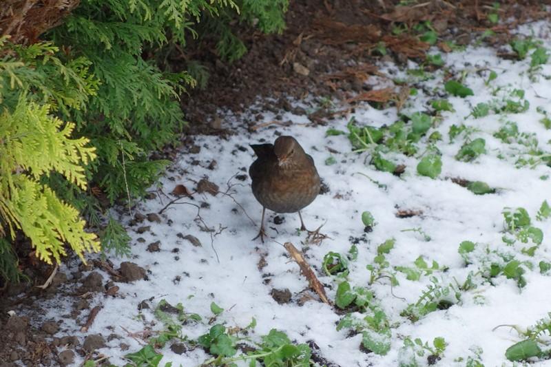 Amsel im winterlichen Garten, Foto: Sebastian Starke