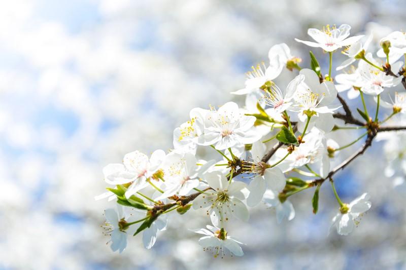 Ein Baum blüht im Frühling